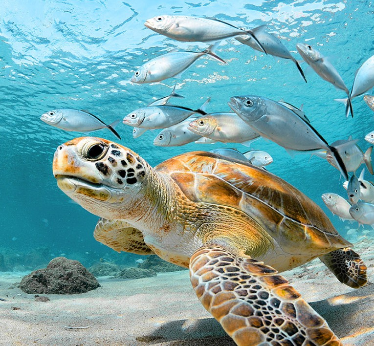 sea turtle underwater surrounded by grey fish