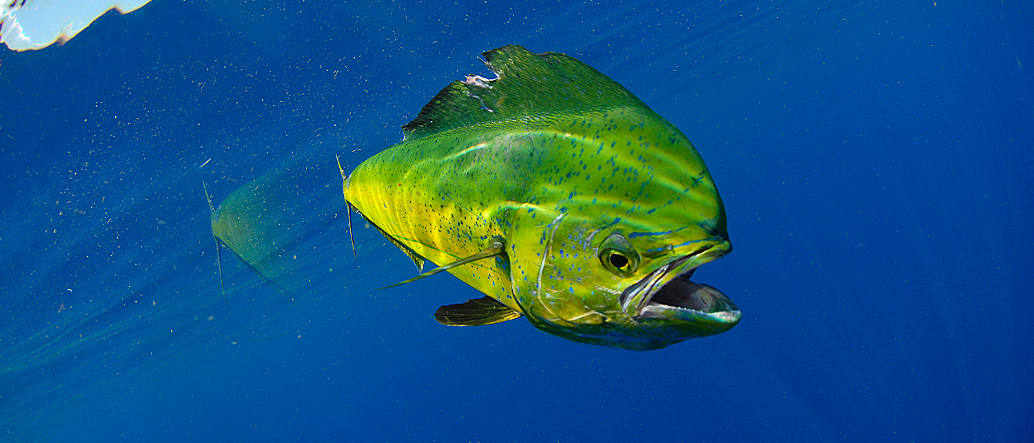 large green and yellow fish