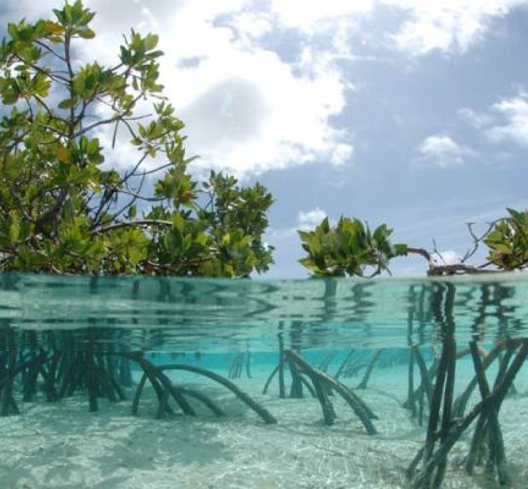 mangroves growing within the water